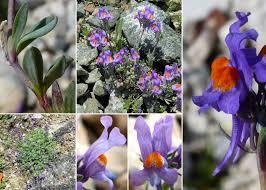 Linaria alpina (L.) Mill. - Sistema informativo sulla flora delle Alpi ...