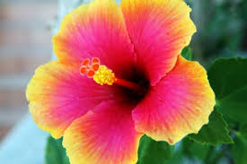 Image result for free download pictures of hibiscus
