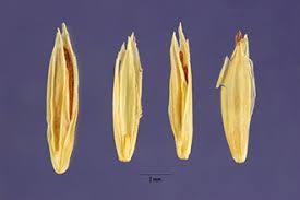 Plants Profile for Poa glauca (glaucous bluegrass)