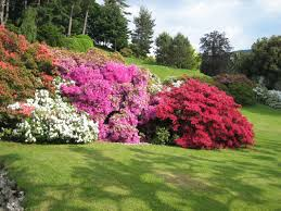 Image result for rhododendron azalea