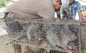 Mô hình nuôi chuột đồng lấy thịt có thật sự mang lại lợi ích hay không?