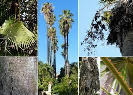 Washingtonia robusta H.Wendl. - Sistema informativo sulla flora del ...