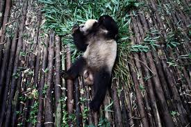 sean gallagher s fragile forests burn magazine a giant panda rolls around in an enclosure at the chengdu research base of giant panda