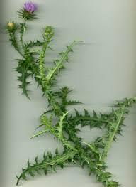 Carduus defloratus L. subsp. carlinifolius (Lam.) Arènes