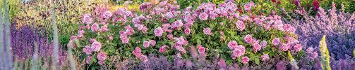<b>Pink Roses</b>
