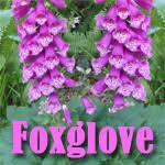 Common foxglove, Digitalis purpurea – Master Gardener Program
