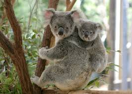 Image result for 2 koalas