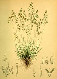 Agrostis rupestris - Wikipedia, la enciclopedia libre