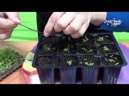 Посев семян <b>лобелии</b> на рассаду в 2019 году: выращивание и ...