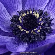 Anemones: Plant Care and Collection of Varieties - Garden.org