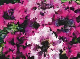 <b>Семена Лобелия Кристалл Палас</b> : описание сорта, фото ...