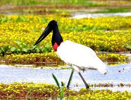 Resultado de imagem para pantanal matogrossense