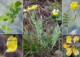 Coronilla vaginalis Lam. - Sistema informativo sulla flora delle Alpi ...