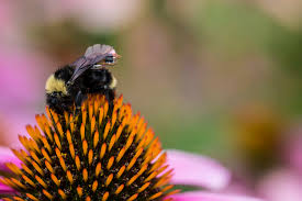 Researchers turning bumblebees into live drones, calling it Living IoT