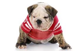 List of College Colors: Gear Your Pup Will Look Great In