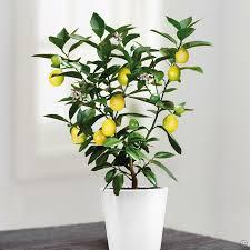 lemon tree x: mini lemon tree  cm fdwhjpg mini lemon tree  cm