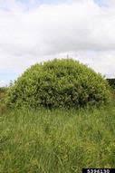 large gray willow: Salix cinerea (Salicales: Salicaceae): Invasive ...