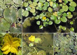 Nymphoides peltata (S.G.Gmel.) Kuntze - Sistema informativo sulla ...