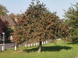 Whitebeam (Sorbus aria) - Woodland Trust