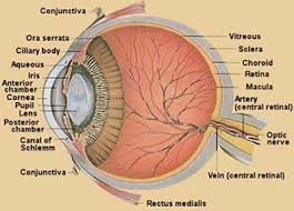 e  perception of stimuli   sl hl biology fergusonuploaded image