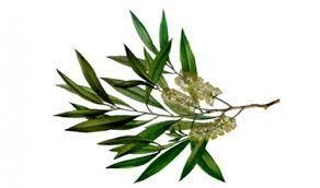 Image result for benefits of tea tree oil on skin