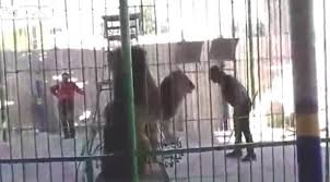 Mısır'da aslan eğitmene saldırdı İZLE