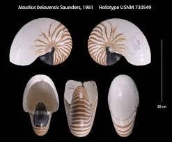 <b>Nautilus pompilius</b> - W. B. Saunders — Google Arts & Culture