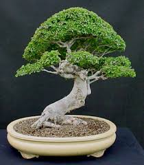 there are generally two ways you can style the chinese elm and that is like the chinese do with their very tight foliage and really nice looking leaf pads chinese elm bonsai tree