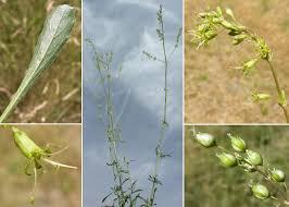 Silene otites (L.) Wibel - Sistema informativo sulla flora vascolare dei ...