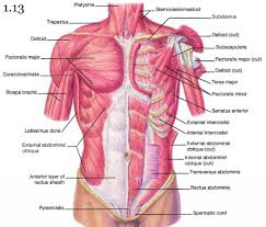 diagram of muscles of upper arm and chest   human anatomy diagram    diagram of muscles of upper arm and chest chest muscles anatomy   anatomy human body