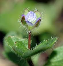 Veronica hederifolia - Wikipedia