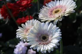 Ultimate Guide to <b>Gerbera</b> Daisies (Meaning & Symbolism) - Petal ...