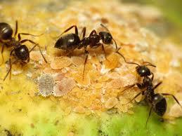Black garden ant