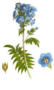 Polemonium caeruleum - Wikipedia