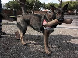 treinamento de cães para resgates