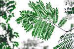 Images & Illustrations of bipinnate leaf
