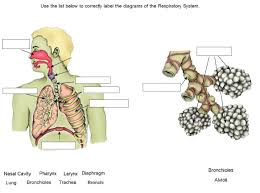 respiratory system case study answers buy paper online creativehomeschooling weebly com respiratory