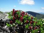 Images & Illustrations of bearberry willow