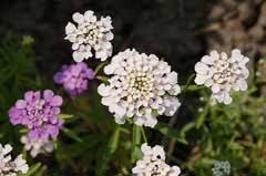 Iberis umbellata Candytuft, Globe candytuft PFAF Plant Database