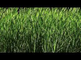 Black oat (Avena strigosa) | Feedipedia