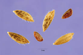 Plants Profile for Leersia oryzoides (rice cutgrass)