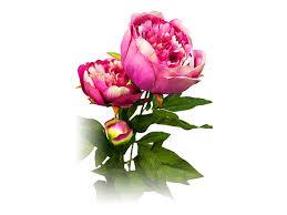 растение искусственное Пион светло розовый 72см - Чижик