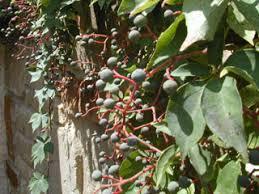 Parthenocissus quinquefolia (Virginia creeper)   Native Plants of ...
