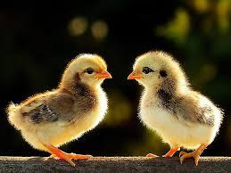 Kết quả hình ảnh cho Hình ảnh gà đẹp nhất