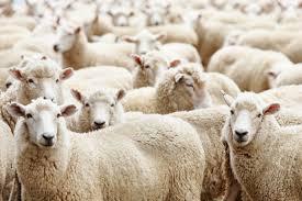 Минсельхоз закупает 1000 овец тонкорунных пород