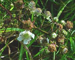 Rubus radula