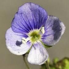 Wildflower Speedwell, Slender Irish Wild Flora Wildflowers of Ireland