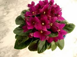 Resultado de imagen para violeta africana