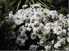 Arbustes feuillage persistant - Promesse de fleurs