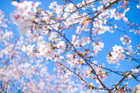 「桜 無料」の画像検索結果